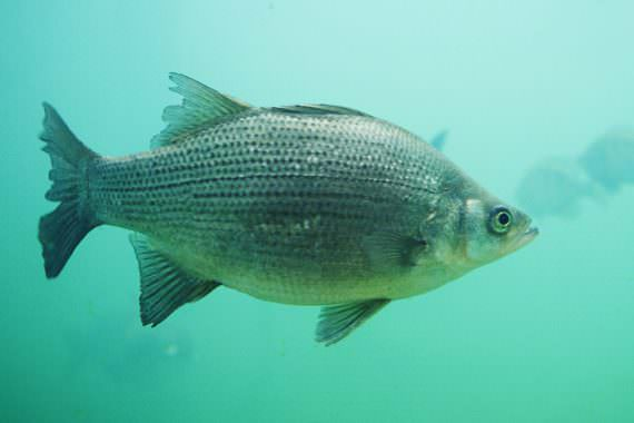 White Bass: Underappreciated St. Clair Target