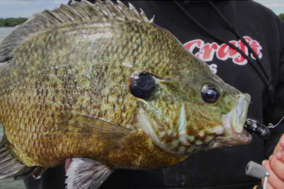 Panfish: the Other Side of Lake St. Clair's Bounty