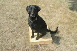 black lab on training board