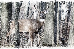 whitetail buck in woods