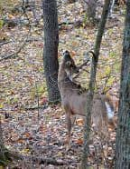 A buck works a licking branch.