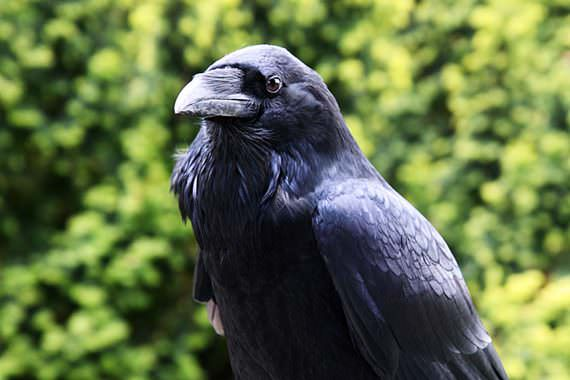 Extend Wingshooting Season by Challenging Crows