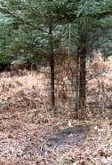 A dominant breeding buck scrape in late October (note broken boughs above the scrape).