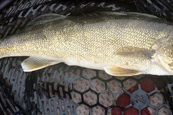 Unpressured Winter Walleyes are There for the Catching