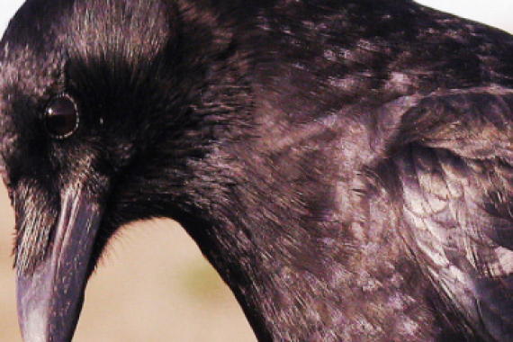 Tackle Crafty Crows to Extend Your Hunting Season