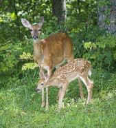 With a condensed rut, more does conceive over a shorter period, which means fawns are also born within a smaller timeframe. The influx of new fawns overwhelms predators and fewer fawns are caught, meaning much higher fawn recruitment.