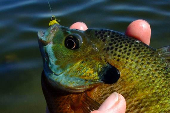 Bluegills on Light Fly Gear: Sporty and Tasty