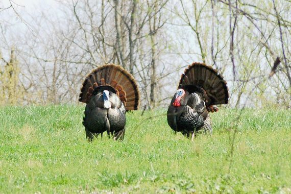 Sure-fire Turkey Tactics