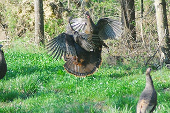 To Wild Turkeys, 'Social' Doesn't Always Mean Hospitable