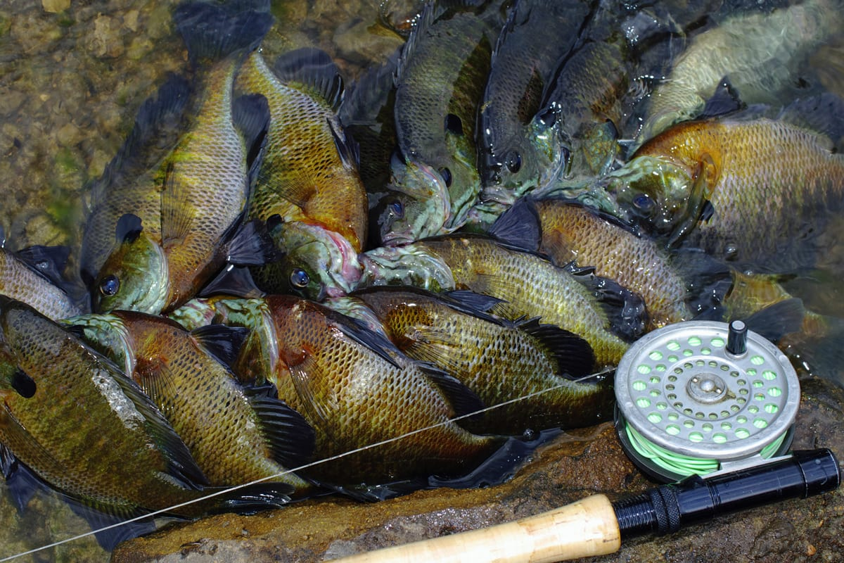 Fly fishing for big bluegills be ready to get down for Fly fishing for bluegill