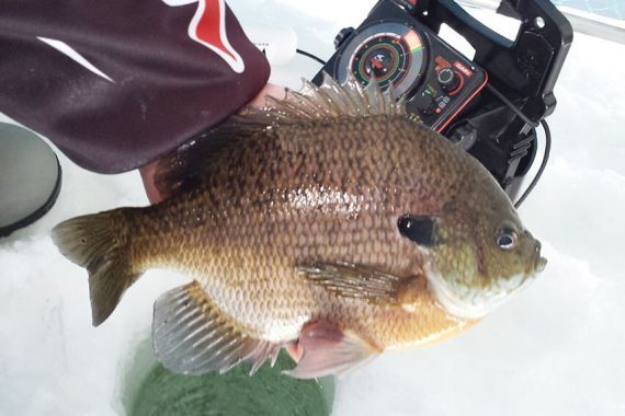 Early-season Bluegills are Prime for Catchin' and Eatin'