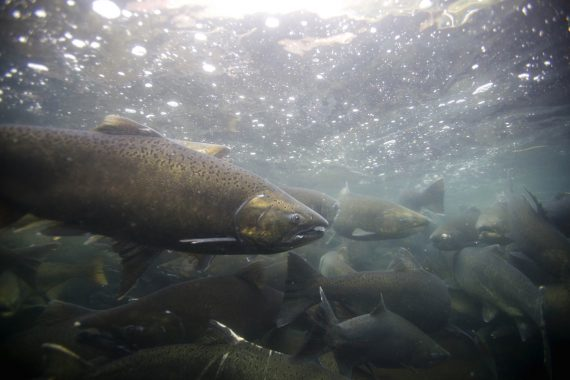 GFP Looking for Help from Salmon Anglers