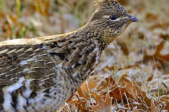 Game and Fish Tallies Spring Pheasant, Grouse Numbers
