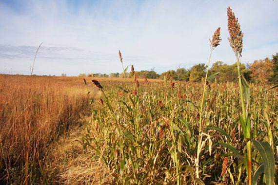 Ten Pheasant Food Plot Questions Answered