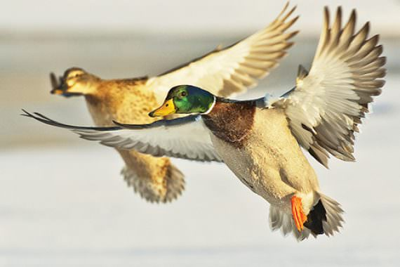 Realism and Concealment: Bringing Wary Waterfowl to the Gun