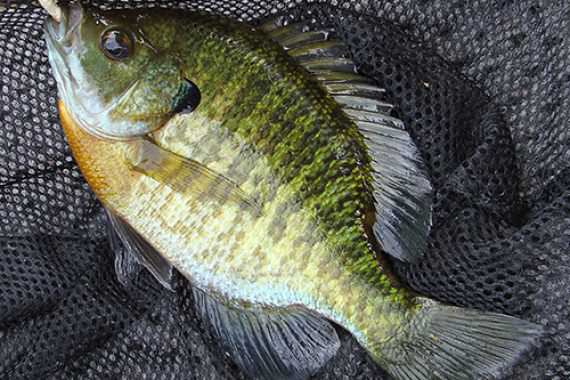 Long Spawning Season for Reelfoot's Big Bream