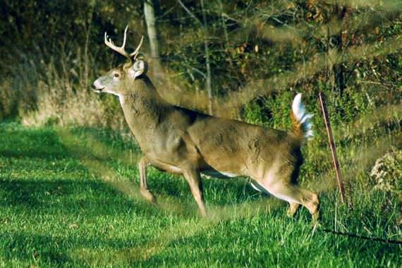 Secrets to 'Speaking Deer' and Luring in Big Bucks