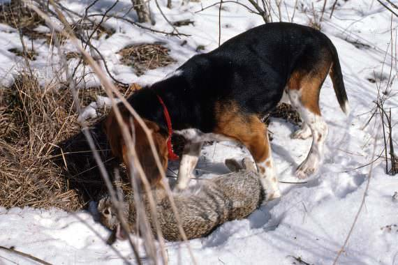 Boisterous Beagles Capture the Heart of Hunting