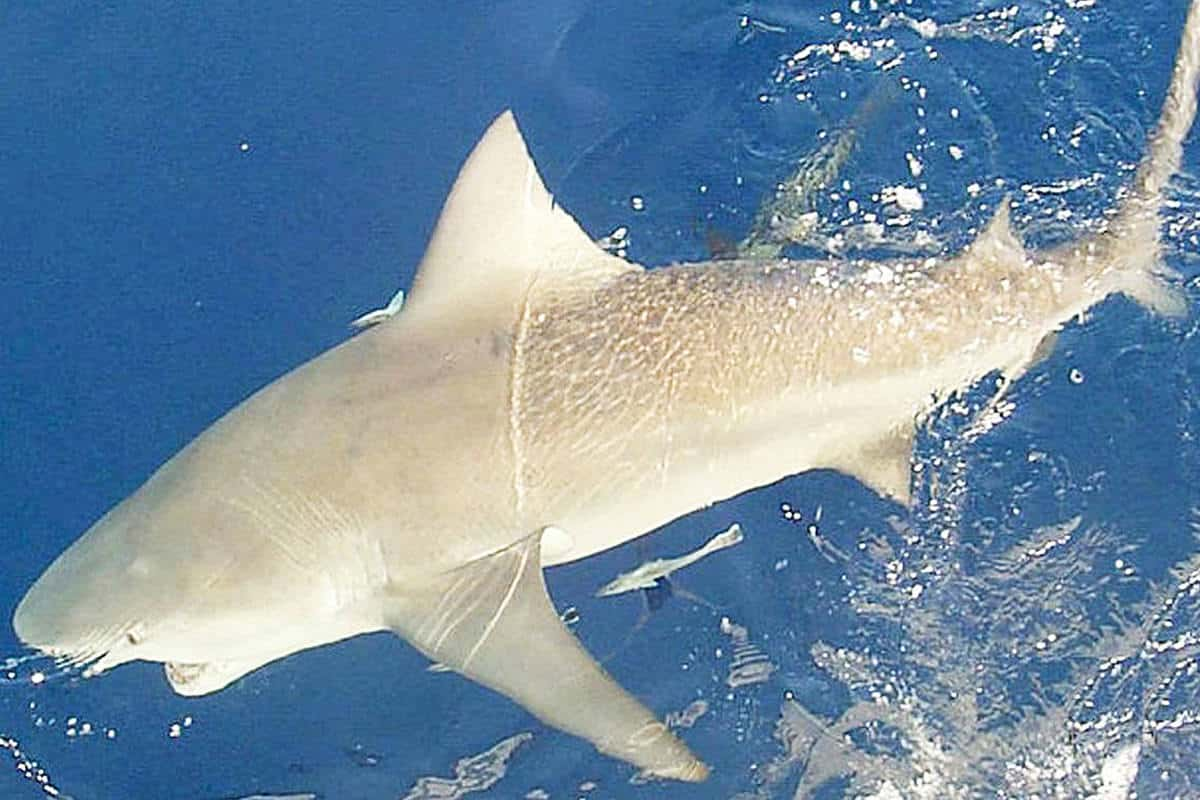 Bull Sharks In The Great Lakes Or Just Plain Bull Midwest Outdoors