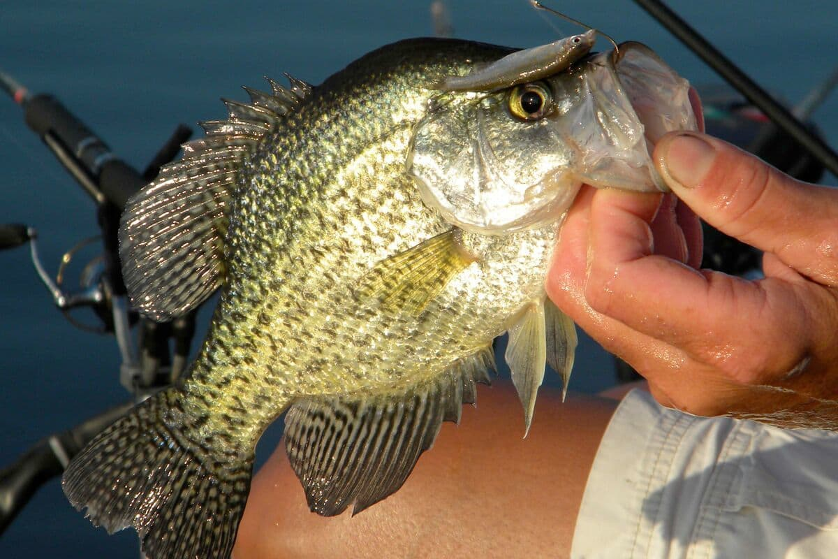 Clinton lake crappies midwest outdoors for Clinton lake fishing