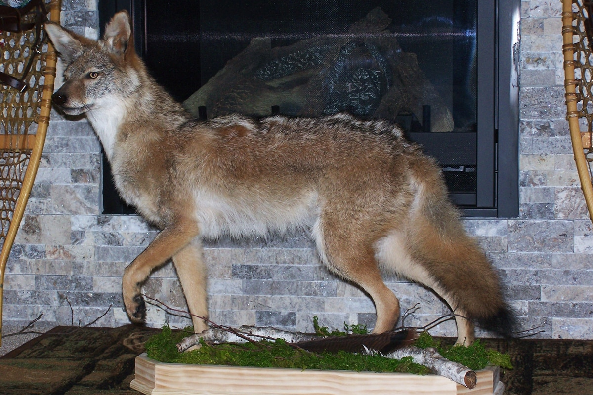 Taxidermy tips for coyotes midwest outdoors taxidermy tips for coyotes solutioingenieria Image collections