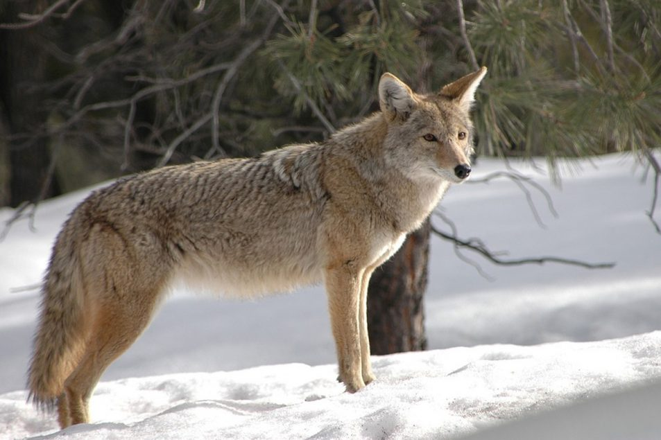coyote | Coyote hunting | Late winter coyote hunting | winter coyote hunting | coyote mating