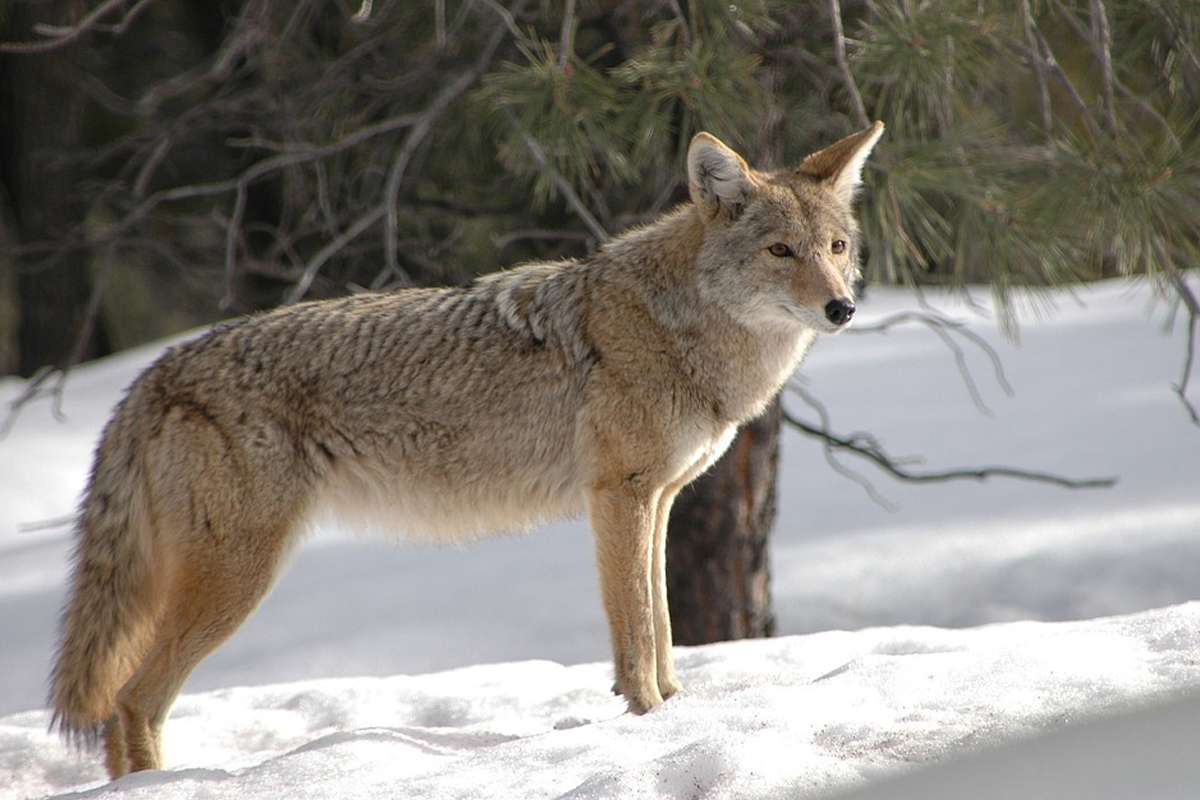 4f826f73db0e9 Coyote mating season peaks in late winter and brings risks for dogs ...
