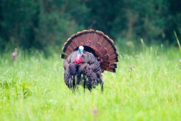 Trail cameras for turkey | Spring turkey hunting | Finding spring turkeys with trail camera | How to use trail cameras for turkey hunting | Turkey habits during spring
