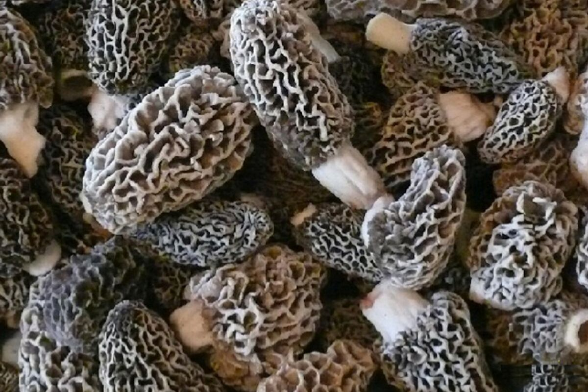 Five Tips for Finding More Morels this Spring | MidWest Outdoors