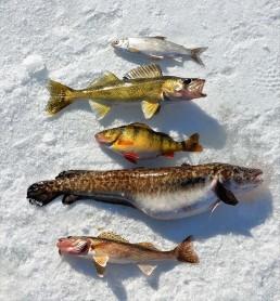 ice fishing saugers | ice fishing walleyes | Ice fishing Burbot | winter walleye fishing | How to ice fish for walleyes | Best ice fishing lures for walleyes