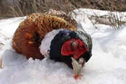 Hunting Upland Birds