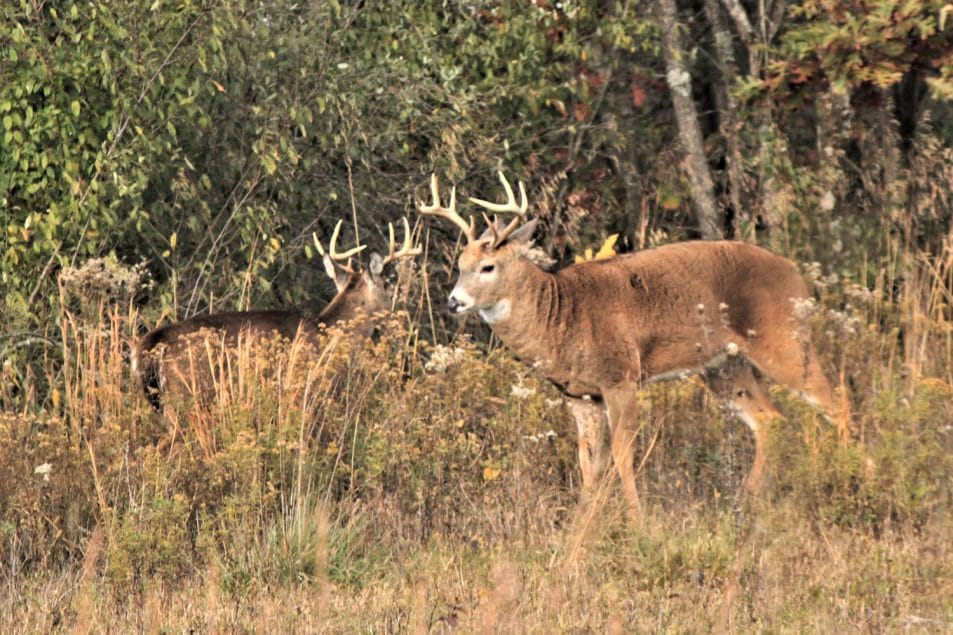 Scouting big buck Scouting whitetail deer How to scout for deer Locating big deer Whitetail habits
